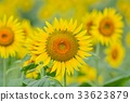 向日葵 花朵 花卉 33623879