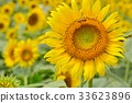 sunflower, sunflowers, bloom 33623896