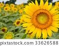 向日葵 花朵 花 33626588