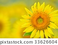 sunflower, sunflowers, bloom 33626604