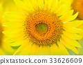 sunflower, sunflowers, bloom 33626609