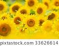 向日葵 花朵 花 33626614