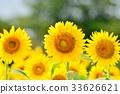 向日葵 花朵 花 33626621