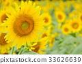 向日葵 花朵 花 33626639