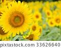 向日葵 花朵 花 33626640