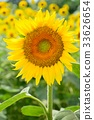 sunflower, sunflowers, bloom 33626654