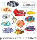 Freshwater aquarium fishes cichlid icon set  33634679