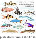 Freshwater aquarium fish loach, goby, killifish 33634734