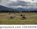 Alpaca against grass land and mountain  33636098