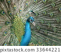 peafowl, peacock, bird 33644221