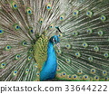 peafowl, peacock, bird 33644222
