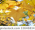 maple, yellow leafe, yellow 33646834