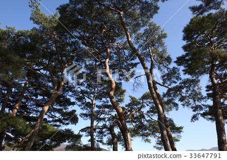 소나무,아산시,충남 33647791