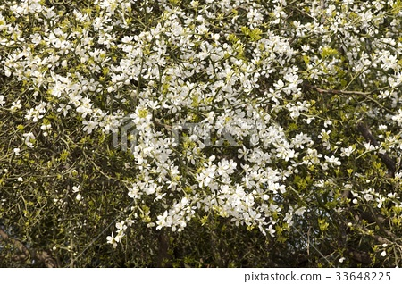Tadashi tree flowers 33648225