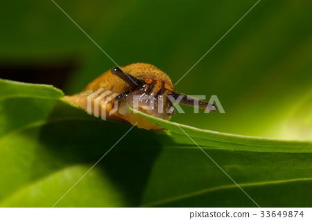 small garden slug eating plant 33649874