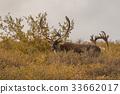 Barren Ground Caribou Bull in Velvet 33662017