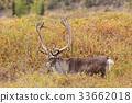 Barren Ground Caribou Bull in Velvet 33662018