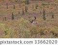 Barren Ground Caribou Bull in Velvet 33662020