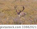 Barren Ground Caribou Bull in Velvet 33662021
