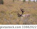 Barren Ground Caribou Bull in Velvet 33662022
