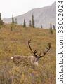 Barren Ground Caribou Bull in Velvet 33662024