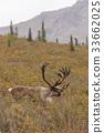Barren Ground Caribou Bull in Velvet 33662025