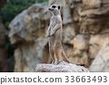 動物 哺乳動物 挖洞 33663493