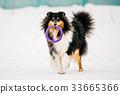 Sheltie, Shetland, collie 33665366