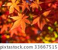 日本枫树 枫树 枫叶 33667515