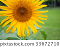 Sun flower 33672710