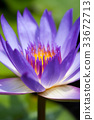 Purple water lily 33672713