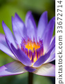 Purple water lily 33672714