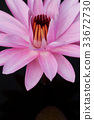 Pink water lily 33672730