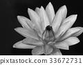 White waterlily 33672731