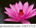Pink water lily 33672732