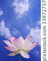 Pink lotus with blue sky 33672737