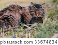 Gray cat caught a rat in a meadow. 33674834