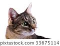 domestic, cat, animal 33675114