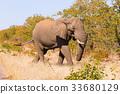 Elephant from Kruger National Park 33680129