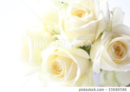 白玫瑰 33680586
