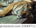 close-up of a beautiful big tiger 33689711