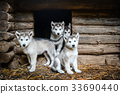 group of cute puppy alaskan malamute run on grass 33690440