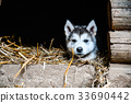 cute puppy alaskan malamute run on grass garden 33690442