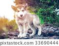 cute puppy alaskan malamute run on grass garden 33690444