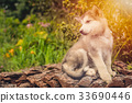 cute puppy alaskan malamute run on grass garden 33690446