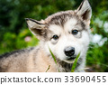 cute puppy alaskan malamute run on grass garden 33690455