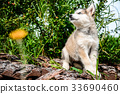 cute puppy alaskan malamute run on grass garden 33690460