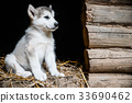 cute puppy alaskan malamute run on grass garden 33690462