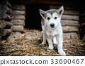 cute puppy alaskan malamute run on grass garden 33690467