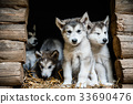 group of cute puppy alaskan malamute run on grass 33690476